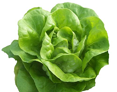 Bib Butterhead Lettuce Seeds - Organic Heirloom - 4,000 Seeds Non GMO