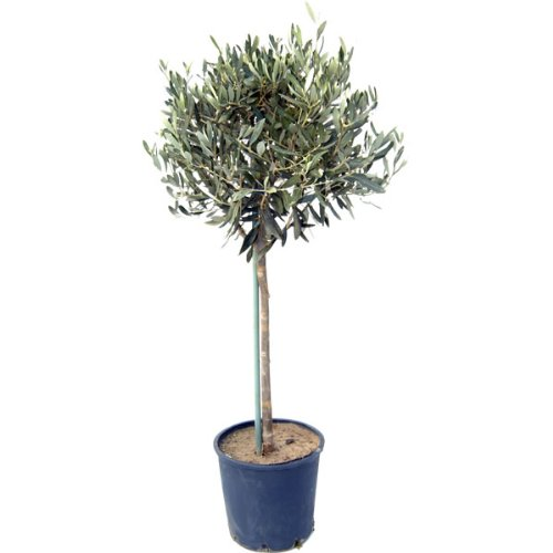 Large Mature 150-160cm Mediterranean Olive Tree 'Olea Europa' Top Quality Established Plants. Ornamental and winter hardy. Gift wrap available. Ideal for pots or ground planting Charellagardens Plants