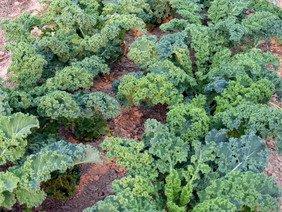 David's Garden Seeds Kale Vates G25101R (Green) 500 Organic Heirloom Seeds