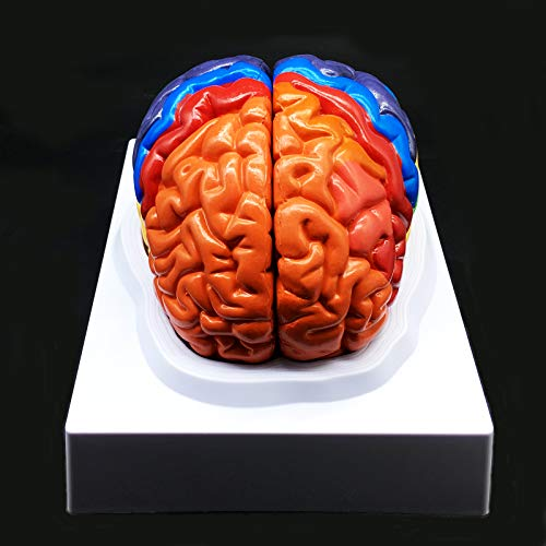 Human Brain Model,Color-Coded Partitioned Brain,2 Parts, Anatomically Accurate Brain Model Life Size Human Brain Anatomy for Science Classroom Study Display Teaching Medical Model ()