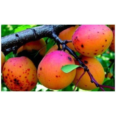 Wild Apricot (Armeniaca vulgaris) 50 Seeds : Garden & Outdoor