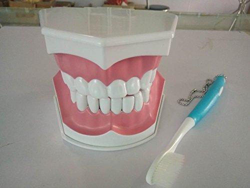 removabel dientes modelo de material dental diente modelo de enseñanza oral con un cepillo de dientes: Amazon.es: Salud y cuidado personal