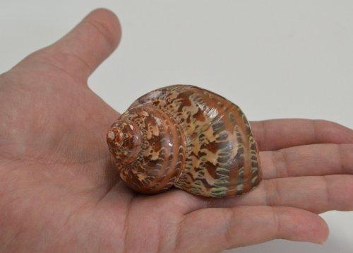 Amazon.com: 2 Pcs Polished Petholatus Jade Turbo Sea Shell Hermit Crab 2