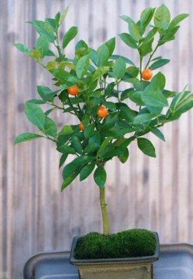 Flowering Tangerine Citrus Bonsai Tree - Seedless<br><i>(kishu mandarin)</i>