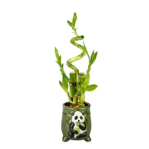 Lucky Bamboo Five Stalk with Spiral Arrangement with Green Ceramic Panda Standing Planter by NW Wholesaler