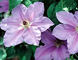 Clematis Ramona – Light Lavender Blue – 2.5″ Pot