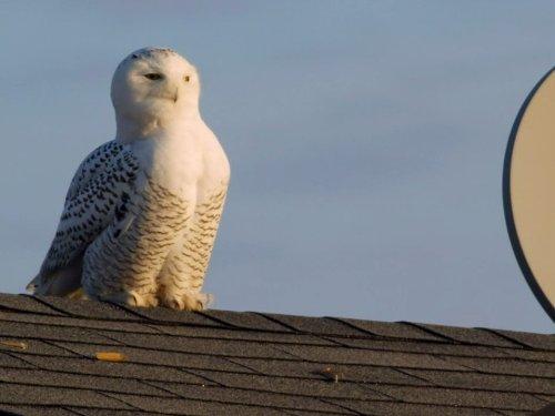 (Magic of the Snowy Owl)