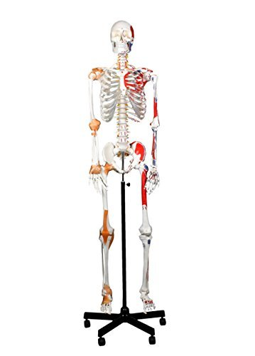 Skeleton Human Muscles (Walter Products B10215 Medical Full Size Human Skeleton W/ Muscles & Ligaments (67