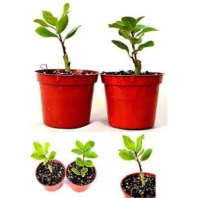 "AchmadAnam - Live Plant 2 Set Bay Laurel Herb Total Two Plants 4""Pot Aromatic Plant Tree Best Gift Yard : Garden & Outdoor"