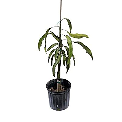 Mango Tree East Indian Grafted 2 Feet Tall, 3-gal Container from Florida: Industrial & Scientific
