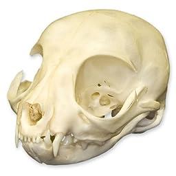 Real Kitten Skull