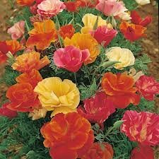 (The Dirty Gardener Eschscholzia Californica Mission Bells California Orange Poppy - .5 Pounds)