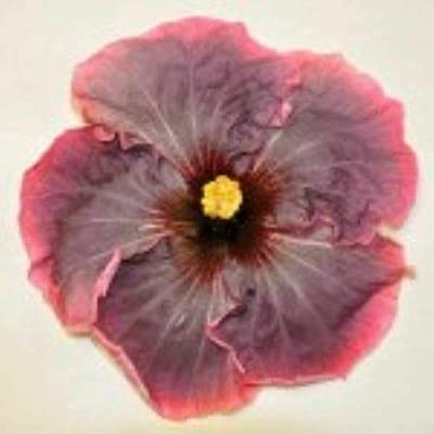 AchmadAnam - Live PlantMIDNIGHT Cajun Rooted Tropical Exotic Hibiscus PlantShips in Pot : Garden & Outdoor