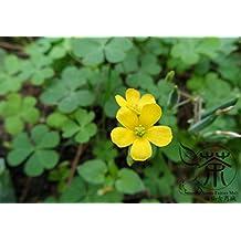 Family Oxalidaceae Oxalis Corniculata Seeds 1200pcs, Procumbent Yellow-sorrel Grass Seeds, Novel Plant Creeping Woodsorrel Seeds