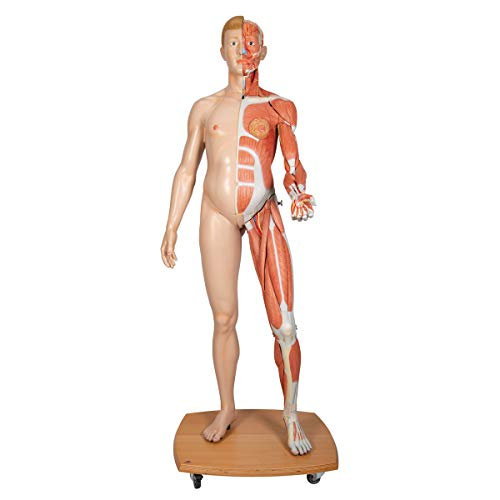 3B Scientific B53 39 Part Life-Size Dual Gender Human Figure Model, 68.5