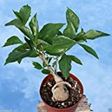 10 Baobab Seeds, (Adansonia Digitata), Monkeybread Tree, Grow Indoor or Outdoor !