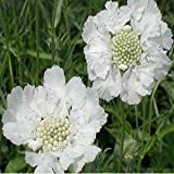 25+ Pure White Scabiosa / Pincushion Flower Seeds / Perennial