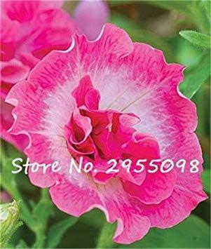 200PCs Seeds Kabloom Calibrachoa Mixed Bonsai Hanging Petunia Home Garden Yard