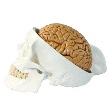 最新入荷 頭蓋骨模型 実物大 1.4585 頭蓋脳付8分解モデル - - 1.4585 B00X3OY3OY B00X3OY3OY, セレクトショップ showcase 芦屋:3bf3006c --- a0267596.xsph.ru