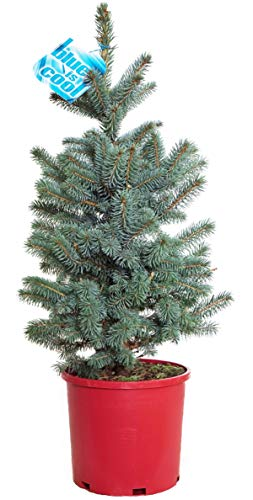 Picea pungens 'Baby Blue' (Baby Blue Blue Spruce) Evergreen, 3 - Size Container ()