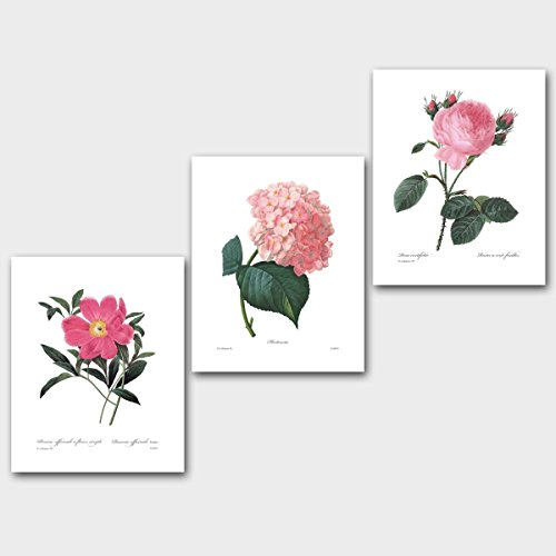 (Set of 3) Botanical Wall Art (Pink Room Decor French Flowers Redoute Prints) Peony Hydrangea Rose - Unframed 8x10 (Antique Rose Wall Frame)