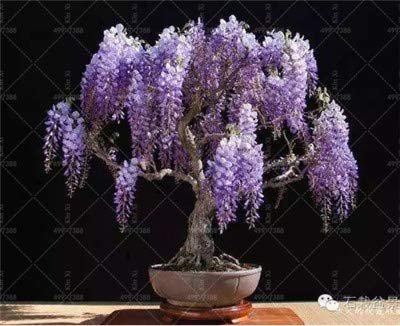 Amazon Co Jp 5 Pcs For Sale Is Wisteria Ha House Mini Garden Rare Red Wisteria Flower Bonsai Tree Perennial Plant Potted Plant Bonsai 13 Home Kitchen