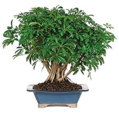 Amazon Com Bonsaioutlet Bonsai Tree Dwarf Hawaiian Umbrella Live Indoor House Plants Garden Outdoor
