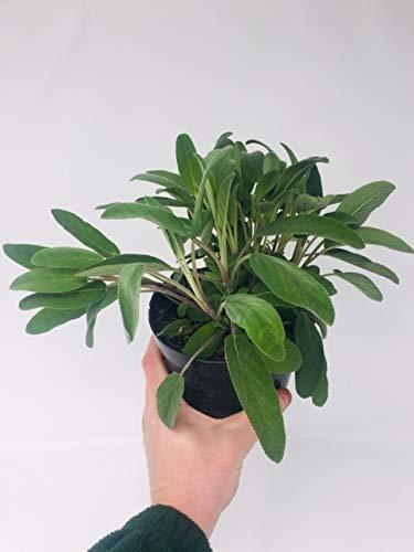 Herb Plants in 14cm Pots 2 x Large Sage Plants