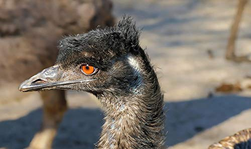 - Home Comforts Canvas Print Emu Animal Flightless Bird Bill Head Bird Vivid Imagery Stretched Canvas 32 x 24