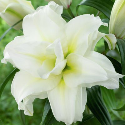 5 Bulbs Double Oriental Roselily Carolina. End of Season Clearance ()