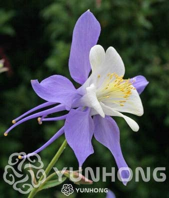 Amazon Com Flower Seeds Aquilegia Viridiflora Purple Columbine
