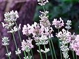 Pink Perfume English Lavender 20 Seeds - Lavandula
