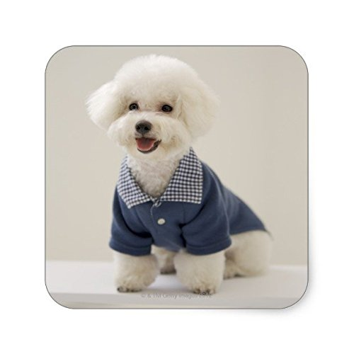 Lancy's Artwork Portrait of Bichon Frise standing on table Square Sticker - Sticker Graphic - Auto, Wall, Laptop, Cell, Truck Sticker for Windows, Cars, Trucks