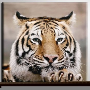 Diseno De 20 Cm X 20 Cm Tiger Kopf Raub Katze De Cerca Wild De Gato