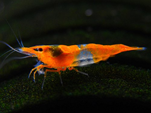5 Live Orange Rili Shrimp (Neocaridina davidi) - Breeding Age Young Adults at 1/2 to 1 Inch Long by Aquatic Arts