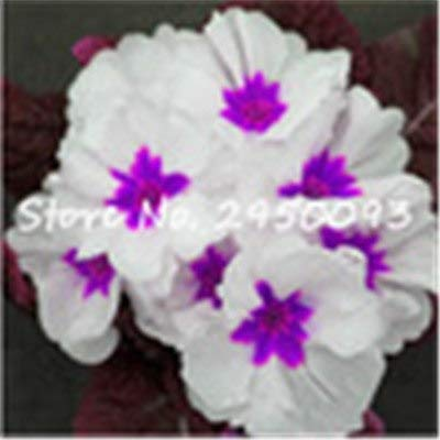 - 150 pcs/Bag Imported Evening Primrose Seeds Perennial Flowering Plant Balcony Garden Indoor Blooming Potted seedflower4