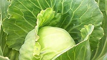 Instant Latch Brand Fresh Garden Seeds Non-GMO 500 Golden Acre Cabbage Seeds