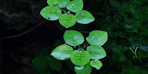 10 x Mordisco de rana (Intervalos de Limnobium), América del sur: Amazon.es: Jardín
