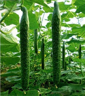 Pasonaseeds - Bonsai - Qiu Sheng hot Vegetable bonsais Cucumber bonsais 20 pcs - by Pasona - 1 PCs