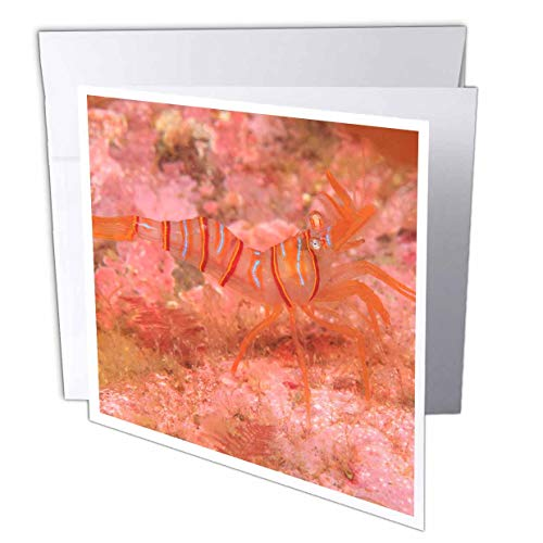 3dRose Danita Delimont - Wildlife - Clown Shrimp, Admiralty Island, Southeast Alaska, Inside Passage - 6 Greeting Cards with envelopes (gc_314518_1)