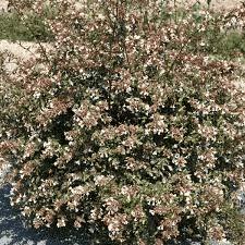 Ab/élia grandiflora 50 CM Livraison Gratuite