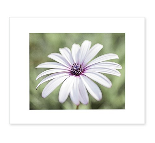 White Daisy Flower Wall Art, Country Cottage Floral Botanical Decor, Girls Bedroom Picture, 8x10 Matted Photographic Print (fits 11x14 frame), 'Pure Daisy' by Offley Green