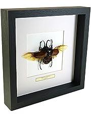 Eupatorus gracilicornis – Kever – Echt opgezet insect gemonteerd onder glas in handgemaakte zwart houten lijst