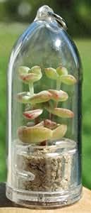 Tulip - Live Succulent Miniature Terrarium Flower - Pet Plant - Boo-Boo Plant