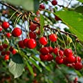 Dwarf Cherry Tree Seeds 100 Count
