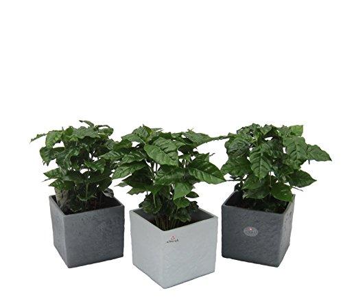 Amazon.de Pflanzenservice Blumen Kaffee-Pflanzen-Trio im Scheurich Würfeltopf grau-stone/anthrazit-stone, circa 14 x 14 x 14 cm, 3 Pflanzen und 3 Töpfe, mehrfarbig