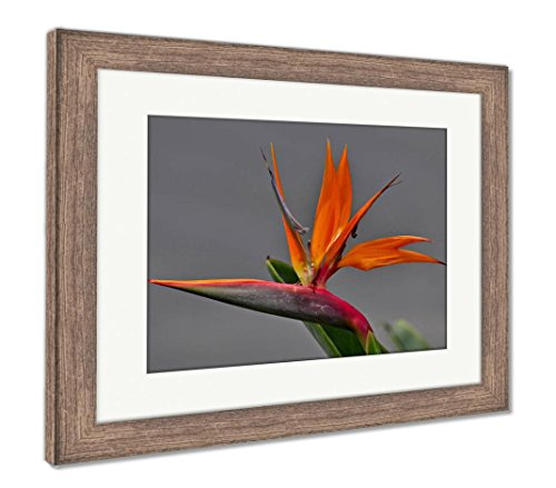 Ashley Framed Prints Bird of Paradise, Wall Art Home Decoration, Color, 26x30 (Frame Size), Rustic Barn Wood Frame, ()
