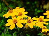 10 Seeds Tagetes Lemmonii Mount Lemmon Marigold Flowers Home Garden tkyeg