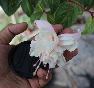 Fuchsia Hybrida Hort Samen, Bonsai Laterne Blumen, für Garten-Ausgangs 50 Samen / bag