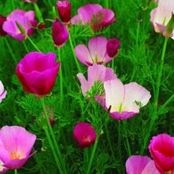 Outsidepride Poppy California Purple Gleam - 5000 Seeds - California Golden Poppy